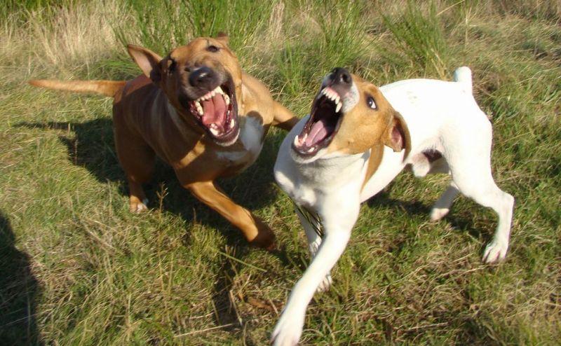 bull terrier jack russel chien