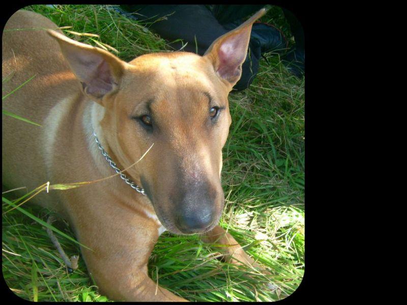 bull terrier rouge chien