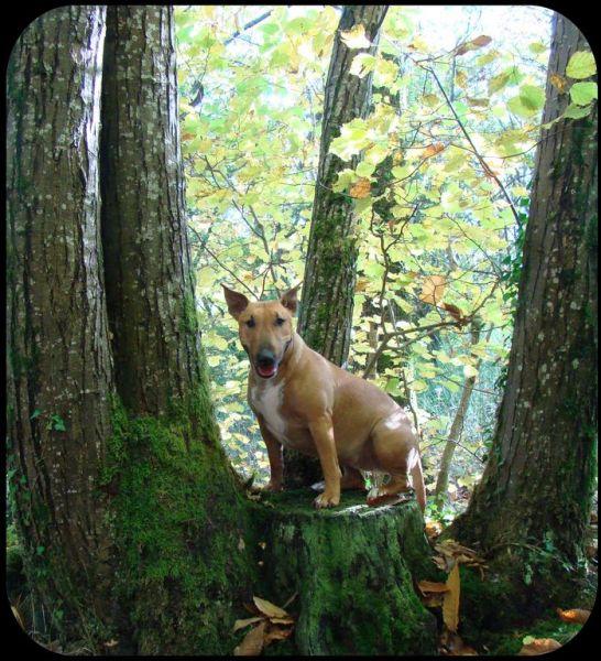 bull terrier dans les bois