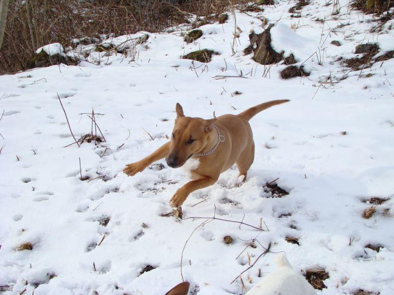bull terrier abyss chien en pleine crise de folie