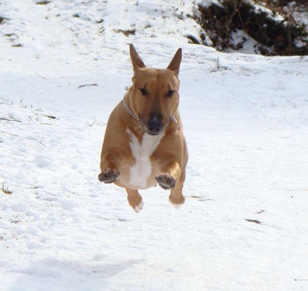 bull terrier chien magnifique photo de vole de chien