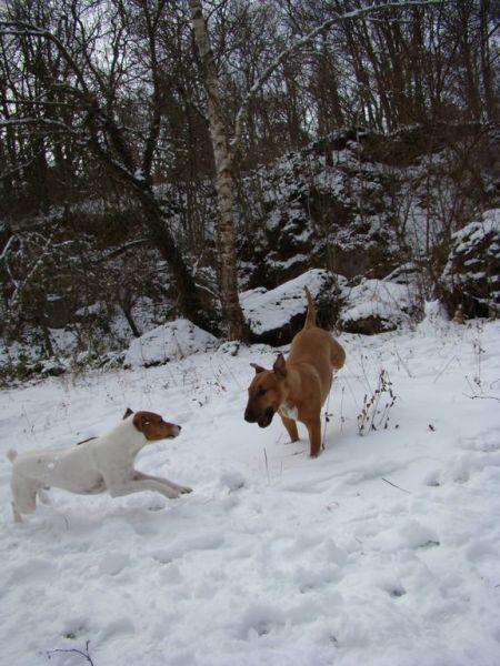 bull terrier et jack russel dans la neige en train de jouer