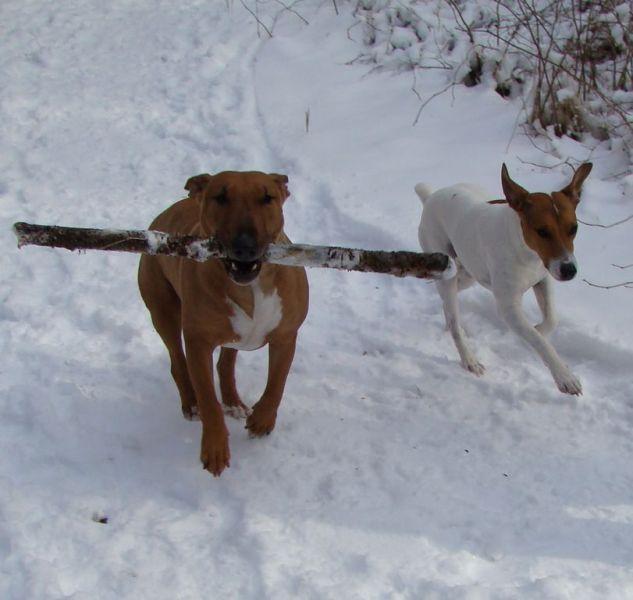 bull terrier et jack russel jouent au baton dans la neige abyss et flack drole