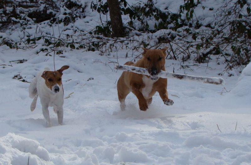 bull terrier et jack russel chien gentils baton dans les bois dans la neige... jolie photo drole