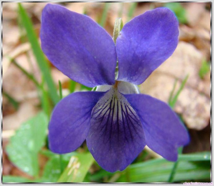 violette des bois viola reichenbachiana viola sylverstris