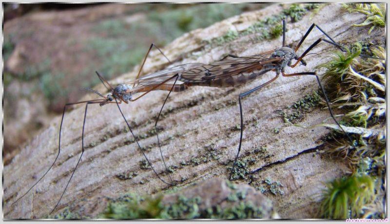 moustique en reproduction
