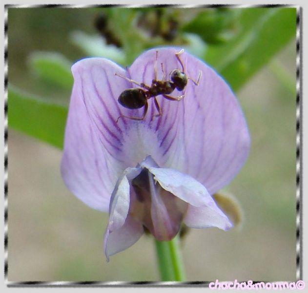 fourmis dans fleur en plein repas