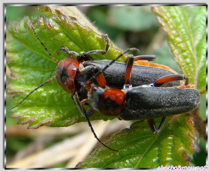 cantharide cantharis fusca insecte coleoptere
