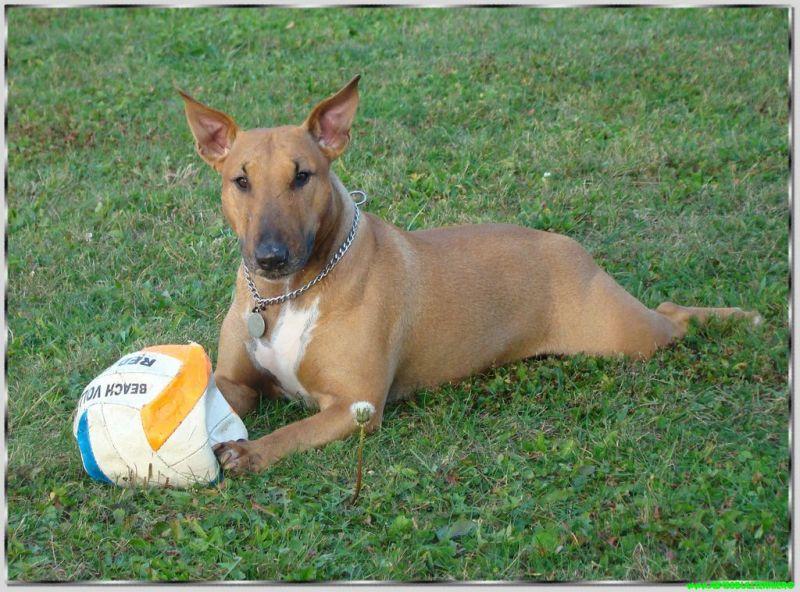 bull terrier ballon
