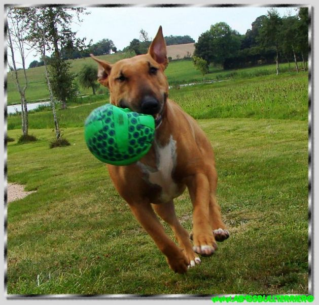 tres belle photo chien ballon vert nature