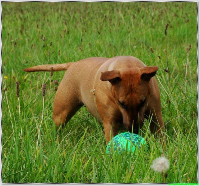 chien bull terrier jeu