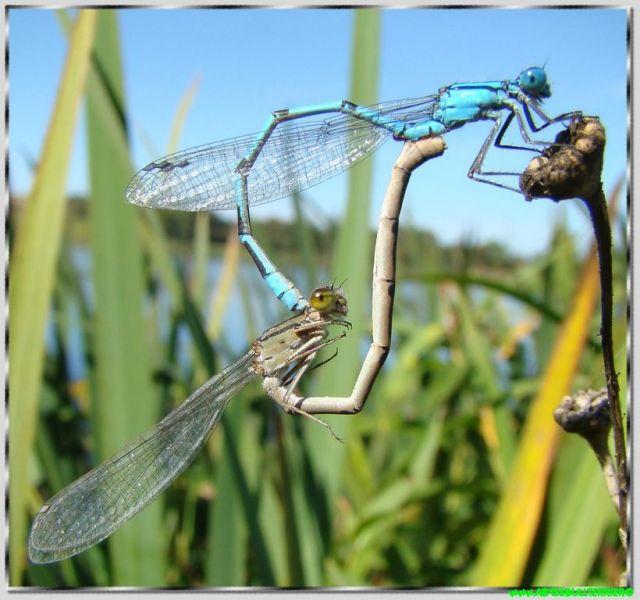 Les odonates (Odonata), ou odonatoptères, sont un ordre d'insectes à corps allongé, dotés de deux paires d'ailes membraneuses généralement transparentes, et dont les yeux composés et généralement volumineux leur permettent de chasser efficacement leurs proies. Ils sont terrestres à l'état adulte et aquatiques à l'état larvaire. Ce sont des prédateurs, que l'on peut rencontrer occasionnellement dans tout type de milieu naturel, mais qui se retrouvent plus fréquemment aux abords des zones d'eau douce à saumâtre, stagnante à faiblement courante, dont ils ont besoin pour se reproduire.  En langue française, le terme de libellule est en général employé au sens large pour désigner les odonates, qui regroupent les deux sous-ordres des demoiselles (Zygoptera) et des libellules stricto sensu (Anisoptera). Un troisième sous-ordre, les Anisozygoptères (Anisozygoptera) ne compte qu'une espèce himalayenne et une autre japonaise.